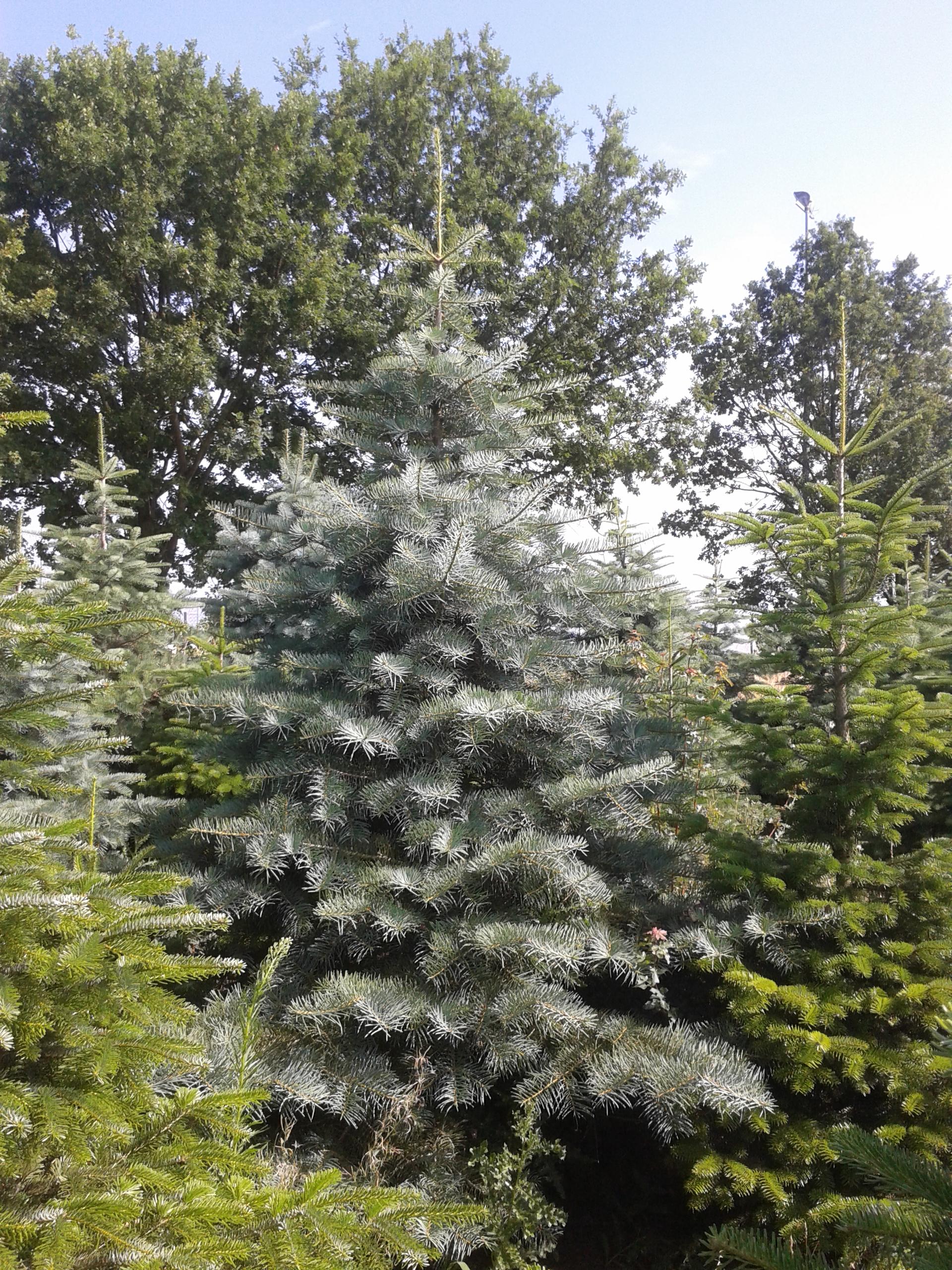 Tannenarten Weihnachtsbaum.Die Amerikanische Silbertanne Abies Concolor