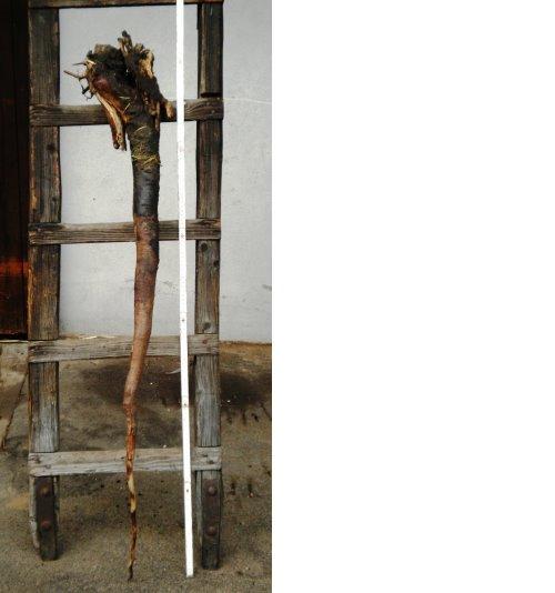 Wurzel einer 1,80m-2,00m grossen Nordmantanne